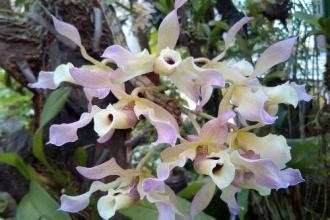 Vườn thực vật - mùa lan Hoàng Thảo Xoắn bung nở